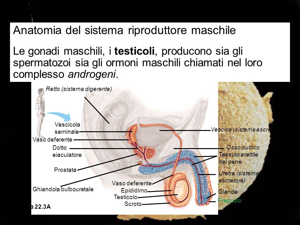 Anatomia del sistema riproduttore maschile Le gonadi maschili, i testicoli, producono sia gli spermatozoi sia gli ormoni maschili chiamati nel loro co