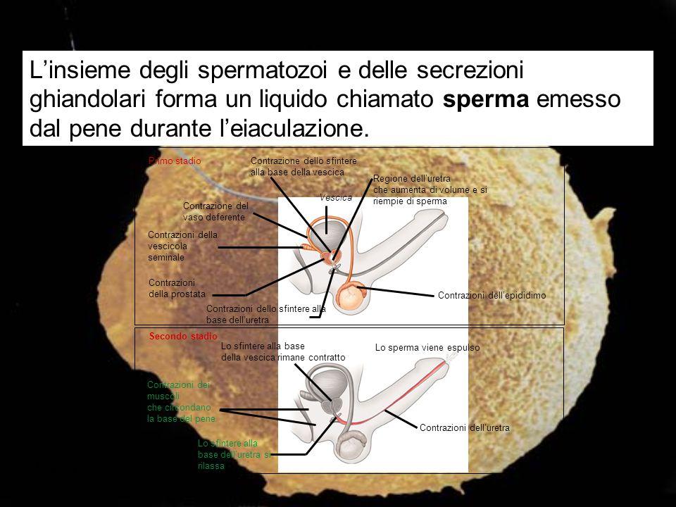 Figura 22.3C L'insieme degli spermatozoi e delle secrezioni ghiandolari forma un liquido chiamato sperma emesso dal pene durante l'eiaculazione. Contr