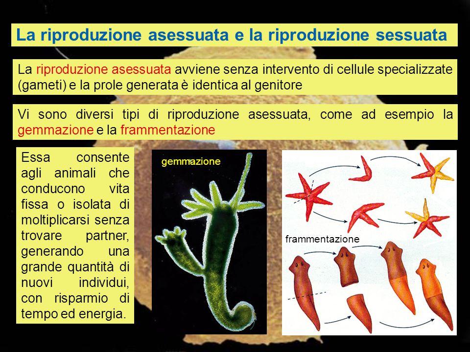 La riproduzione asessuata e la riproduzione sessuata La riproduzione asessuata avviene senza intervento di cellule specializzate (gameti) e la prole g