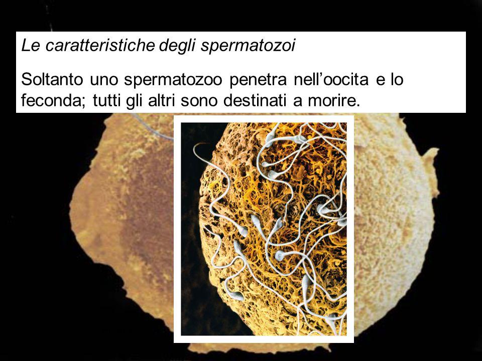 Le caratteristiche degli spermatozoi Soltanto uno spermatozoo penetra nell'oocita e lo feconda; tutti gli altri sono destinati a morire. Figura 22.9A