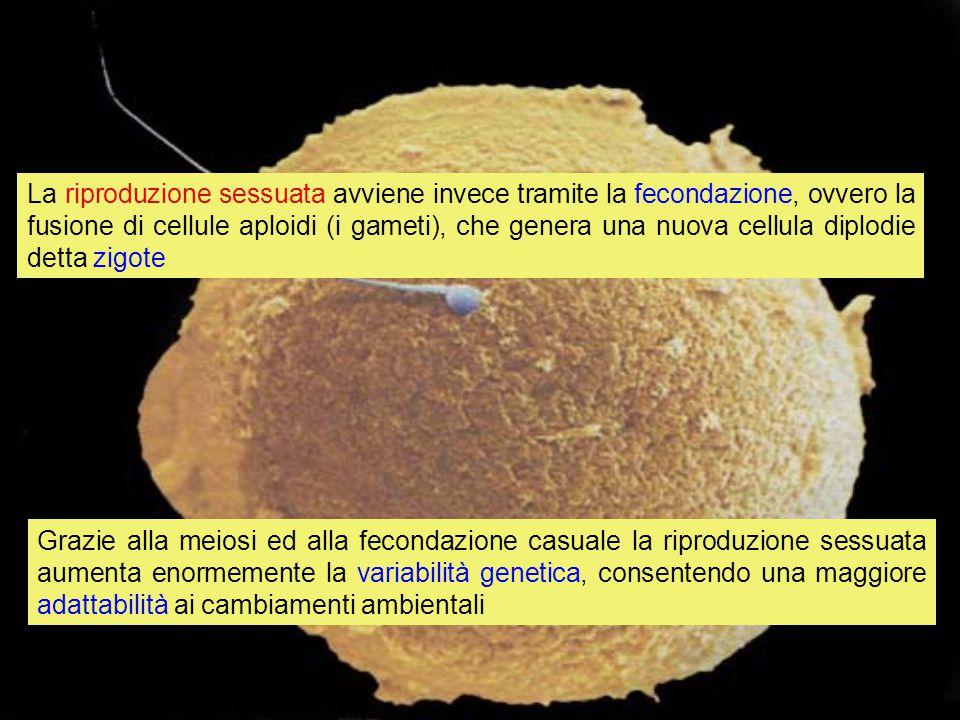 La riproduzione sessuata avviene invece tramite la fecondazione, ovvero la fusione di cellule aploidi (i gameti), che genera una nuova cellula diplodi