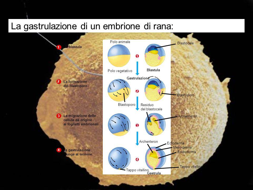 Figura 22.11 Polo animale Blastocele Polo vegetativo Blastula La blastula 1 1 Gastrulazione Blastoporo La formazione del blastoporo 2 2 Archenteron La