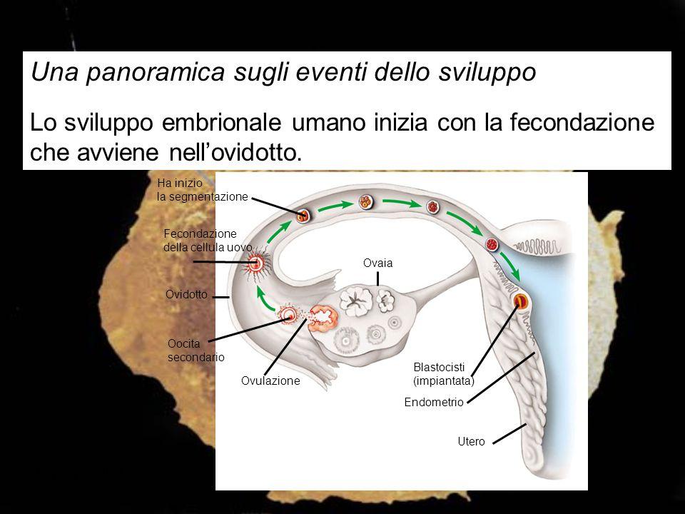 Una panoramica sugli eventi dello sviluppo Lo sviluppo embrionale umano inizia con la fecondazione che avviene nell'ovidotto. Ha inizio la segmentazio