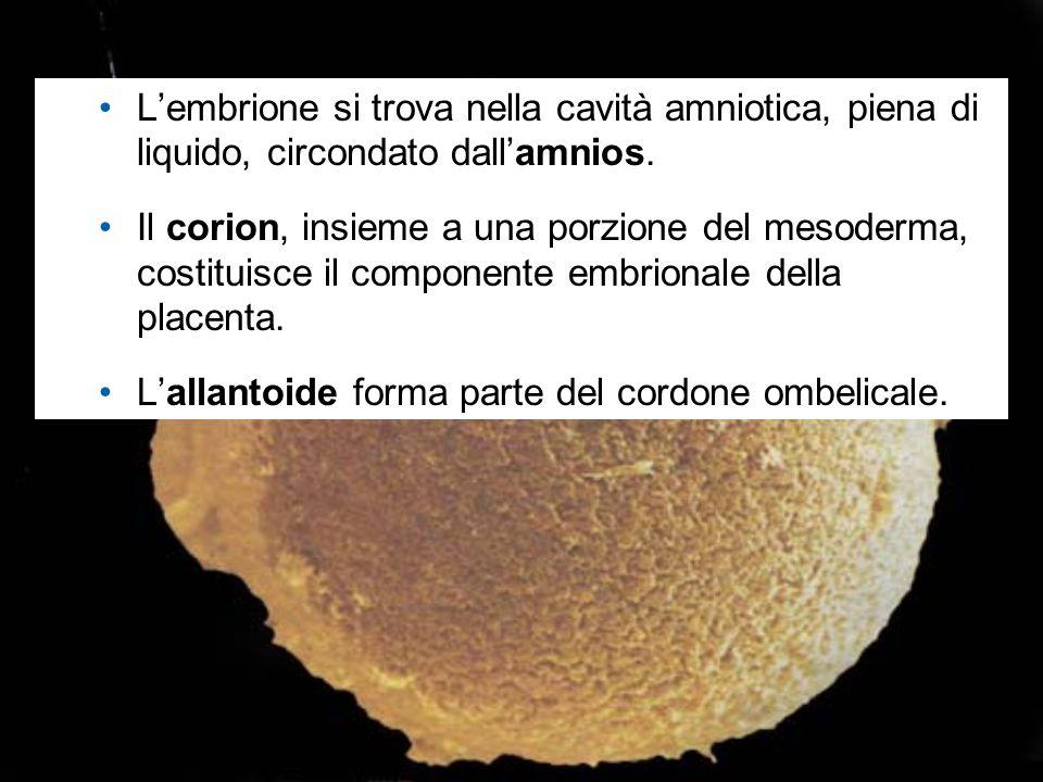L'embrione si trova nella cavità amniotica, piena di liquido, circondato dall'amnios. Il corion, insieme a una porzione del mesoderma, costituisce il