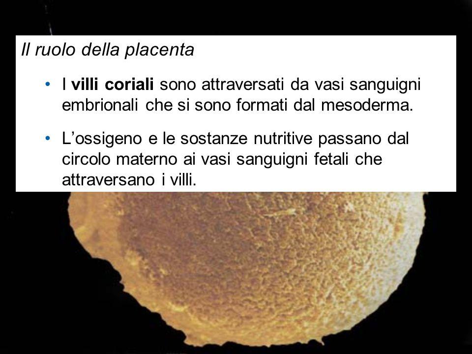 Il ruolo della placenta I villi coriali sono attraversati da vasi sanguigni embrionali che si sono formati dal mesoderma. L'ossigeno e le sostanze nut