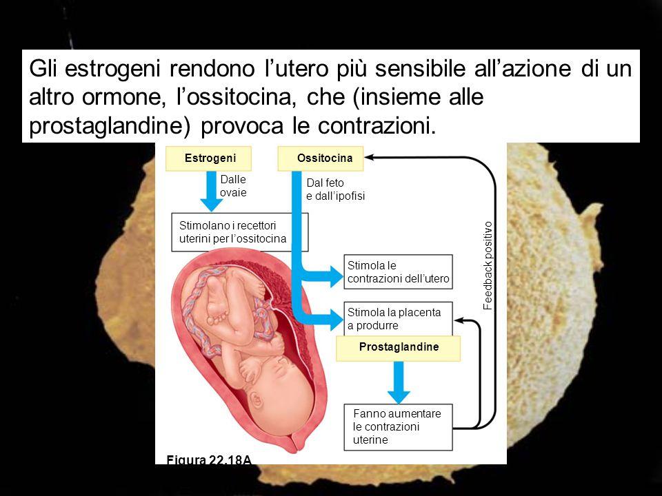 EstrogeniOssitocina Dalle ovaie Dal feto e dall'ipofisi Stimolano i recettori uterini per l'ossitocina Stimola le contrazioni dell'utero Stimola la pl