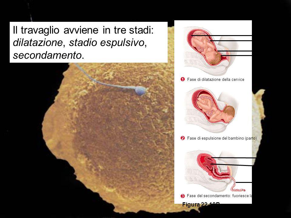 Placenta Cordone Ombelicale Utero Cervice Utero Placenta Cordone ombelicale Figura 22.18B Fase di dilatazione della cervice 1 Fase di espulsione del b
