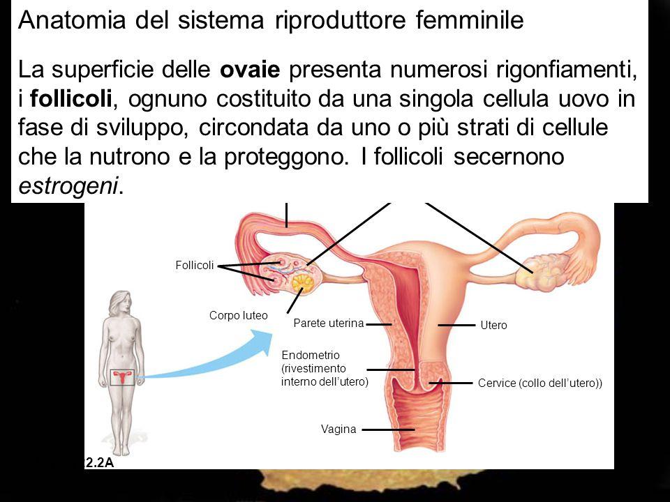 Ovidotto Ovaie Follicoli Corpo luteo Parete uterina Utero Endometrio (rivestimento interno dell'utero) Cervice (collo dell'utero)) Vagina Figura 22.2A