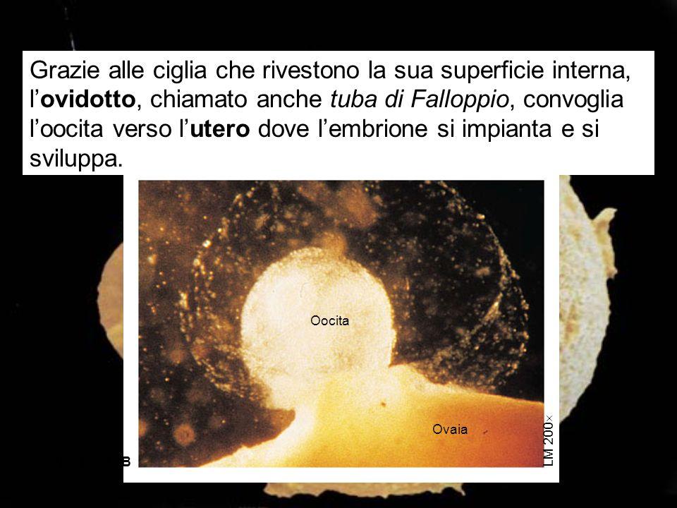 Oocita Ovaia LM 200  Figure 22.2B Grazie alle ciglia che rivestono la sua superficie interna, l'ovidotto, chiamato anche tuba di Falloppio, convoglia