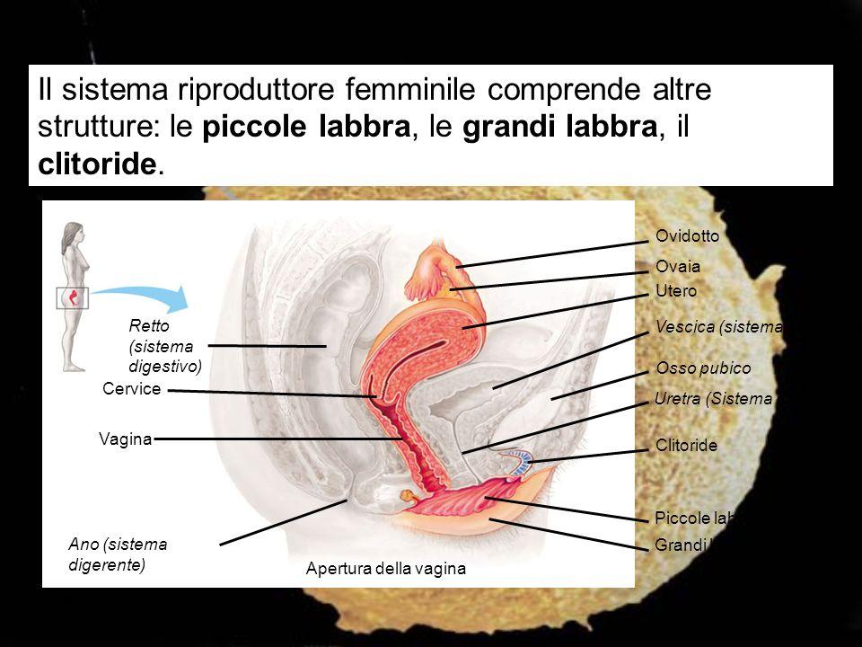 Ovidotto Ovaia Utero Vescica (sistema escretore) Osso pubico Uretra (Sistema escretore) Clitoride Piccole labbra Grandi labbra Apertura della vagina A