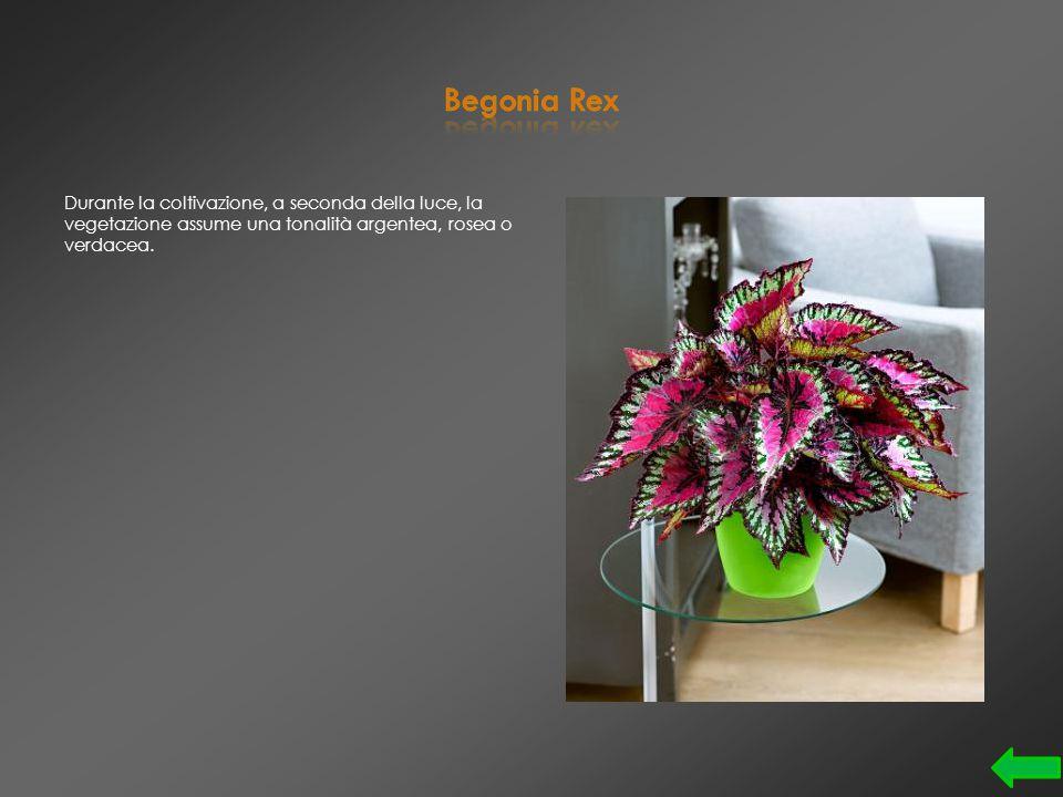 A causa della sua forma è chiamata Pianta delle Hawaii, il suo nome è Brighamia insignis
