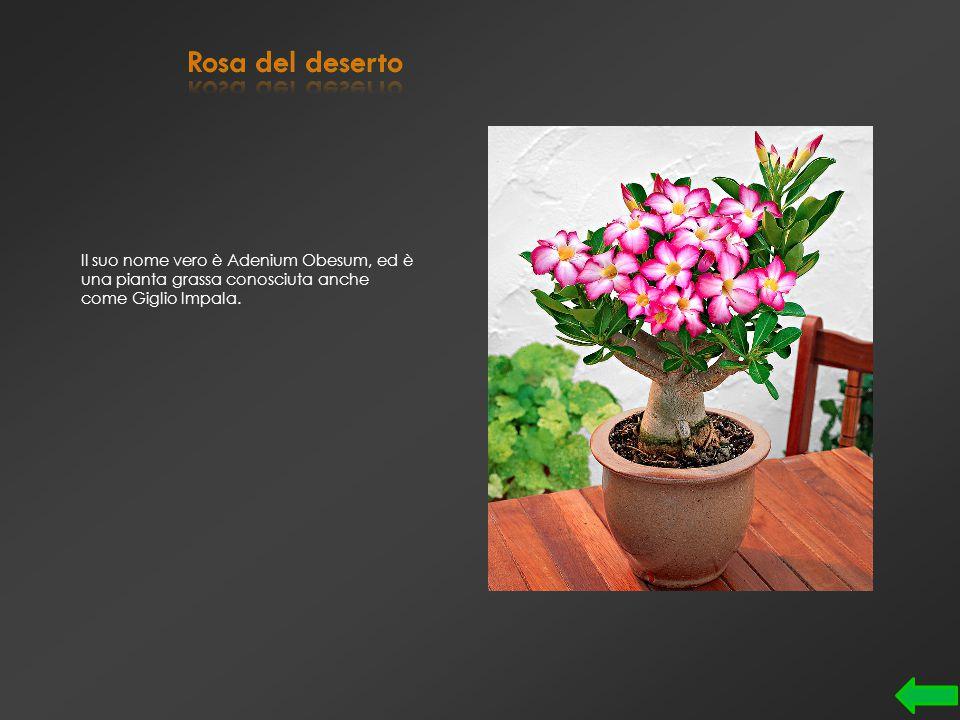 Durante la coltivazione, a seconda della luce, la vegetazione assume una tonalità argentea, rosea o verdacea.