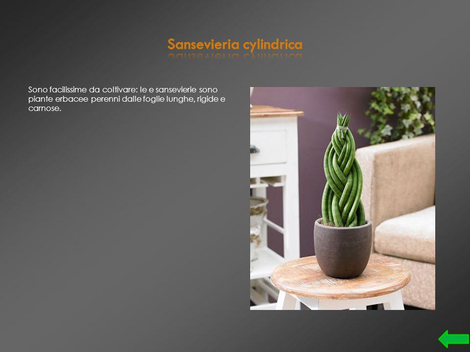 Il suo nome vero è Adenium Obesum, ed è una pianta grassa conosciuta anche come Giglio Impala.