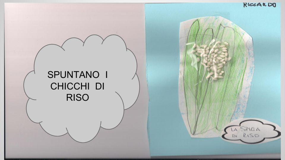 SPUNTANO I CHICCHI DI RISO
