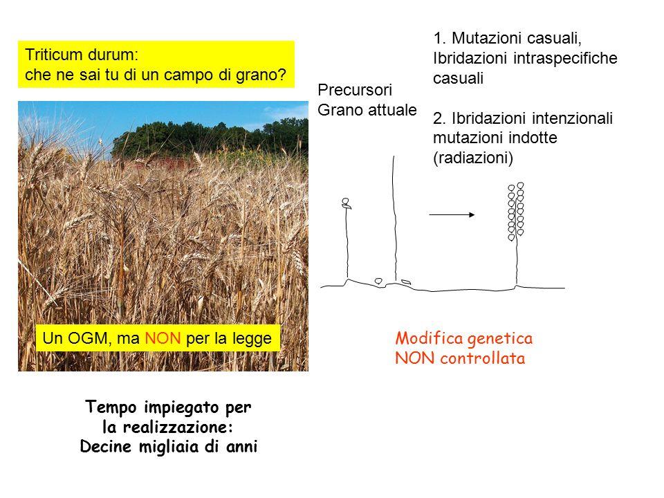 Triticum durum: che ne sai tu di un campo di grano? Un OGM, ma NON per la legge 1. Mutazioni casuali, Ibridazioni intraspecifiche casuali 2. Ibridazio