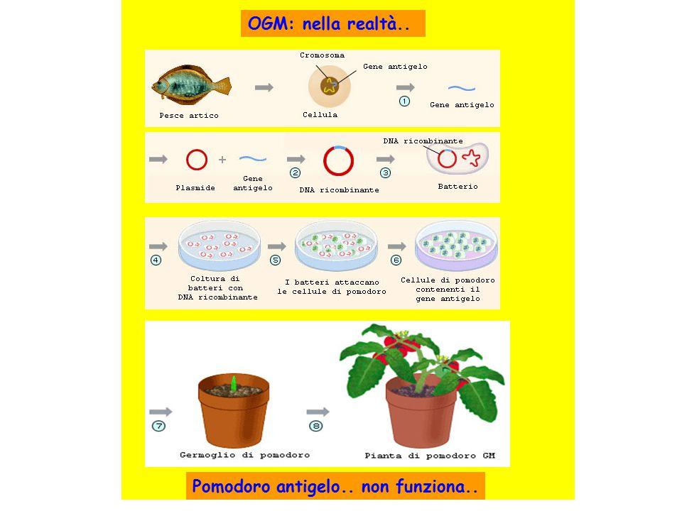 Pomodoro antigelo.. non funziona.. OGM: nella realtà..