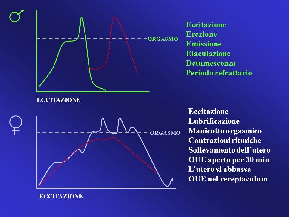 ORGASMO ECCITAZIONE Eccitazione Erezione Emissione Eiaculazione Detumescenza Periodo refrattario Eccitazione Lubrificazione Manicotto orgasmico Contra