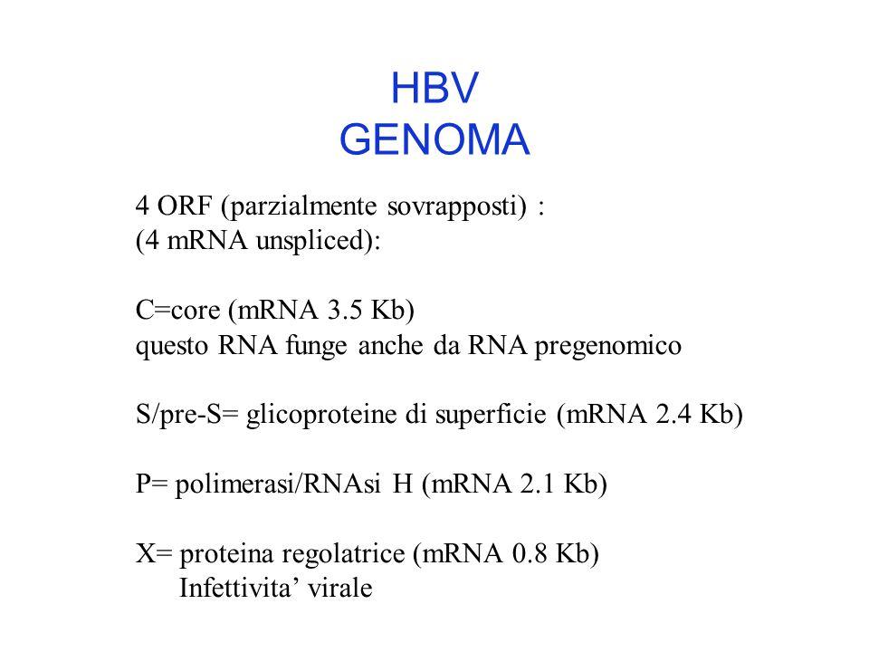 4 ORF (parzialmente sovrapposti) : (4 mRNA unspliced): C=core (mRNA 3.5 Kb) questo RNA funge anche da RNA pregenomico S/pre-S= glicoproteine di superficie (mRNA 2.4 Kb) P= polimerasi/RNAsi H (mRNA 2.1 Kb) X= proteina regolatrice (mRNA 0.8 Kb) Infettivita' virale