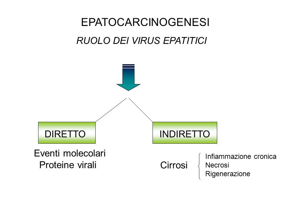 EPATOCARCINOGENESI RUOLO DEI VIRUS EPATITICI DIRETTOINDIRETTO Eventi molecolari Proteine virali Cirrosi Infiammazione cronica Necrosi Rigenerazione