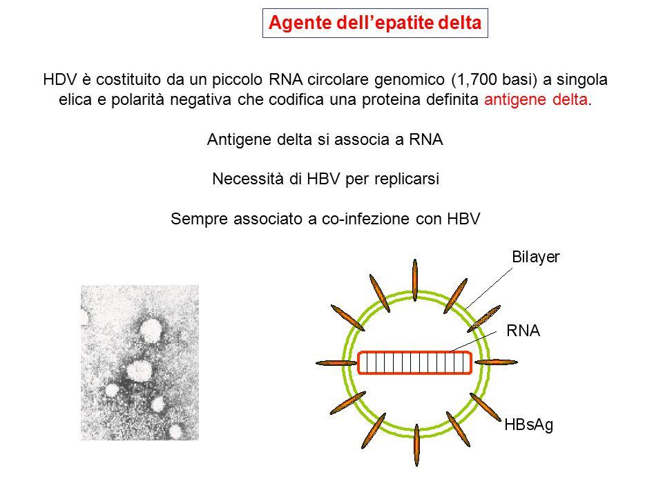 HDV è costituito da un piccolo RNA circolare genomico (1,700 basi) a singola elica e polarità negativa che codifica una proteina definita antigene del