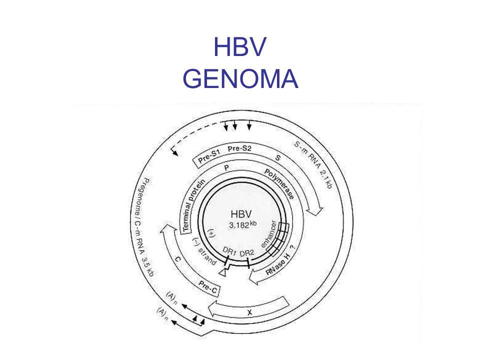 HBV GENOMA