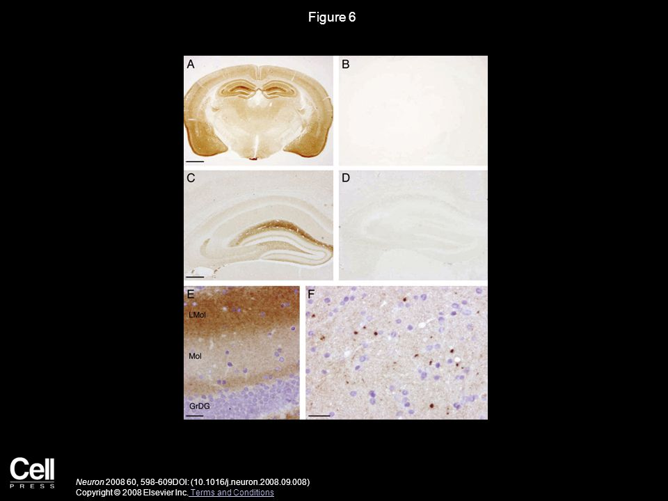 Figure 7 Neuron 2008 60, 598-609DOI: (10.1016/j.neuron.2008.09.008) Copyright © 2008 Elsevier Inc.