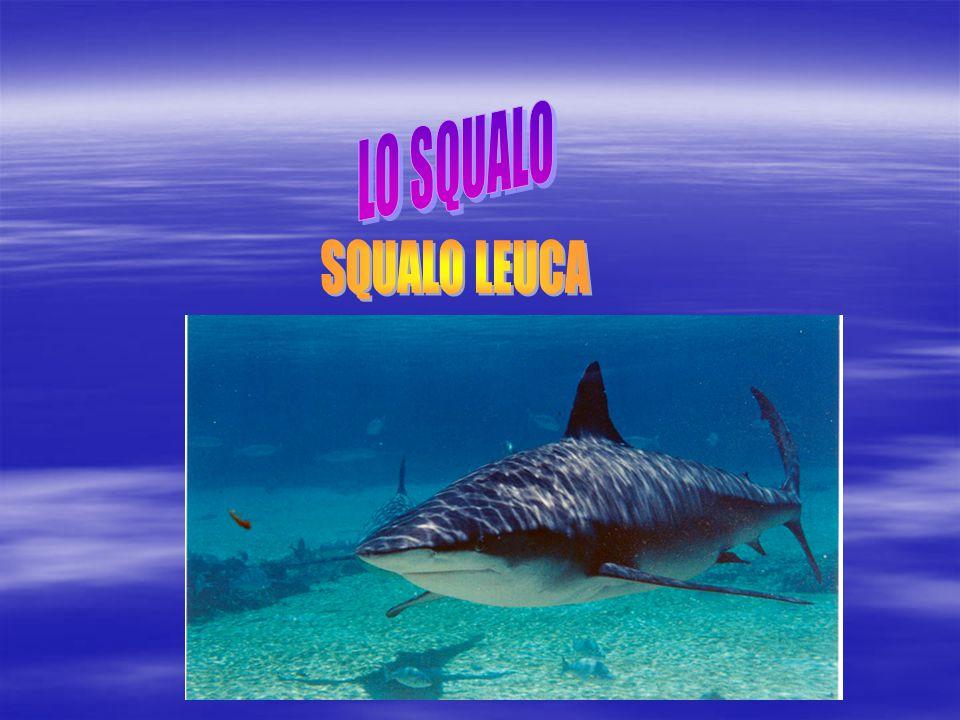  Lo squalo leuca o squalo zambesi è una comune specie di squalo della famiglia dei Carcarinidi diffusa nelle acque calde e poco profonde delle zone costiere e dei fiumi di tutto il mondo.