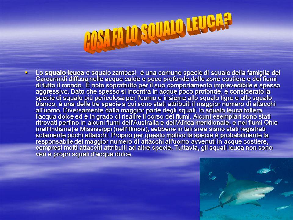  Lo squalo leuca o squalo zambesi è una comune specie di squalo della famiglia dei Carcarinidi diffusa nelle acque calde e poco profonde delle zone c
