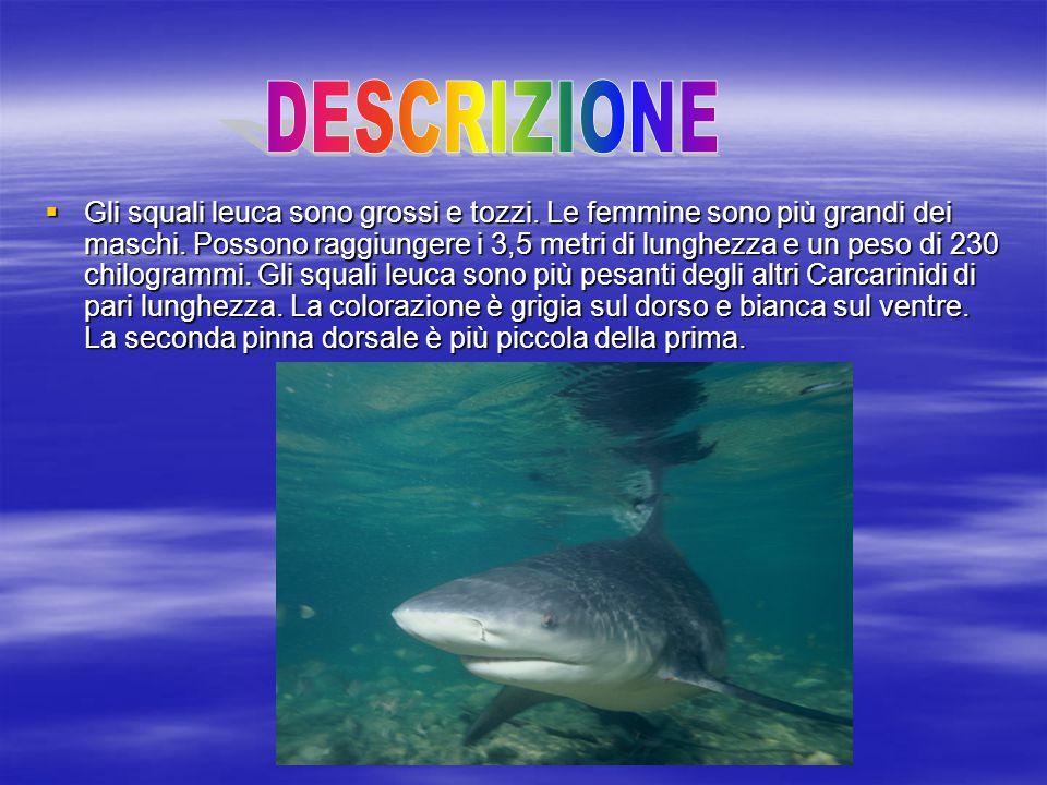  Gli squali leuca sono grossi e tozzi. Le femmine sono più grandi dei maschi. Possono raggiungere i 3,5 metri di lunghezza e un peso di 230 chilogram