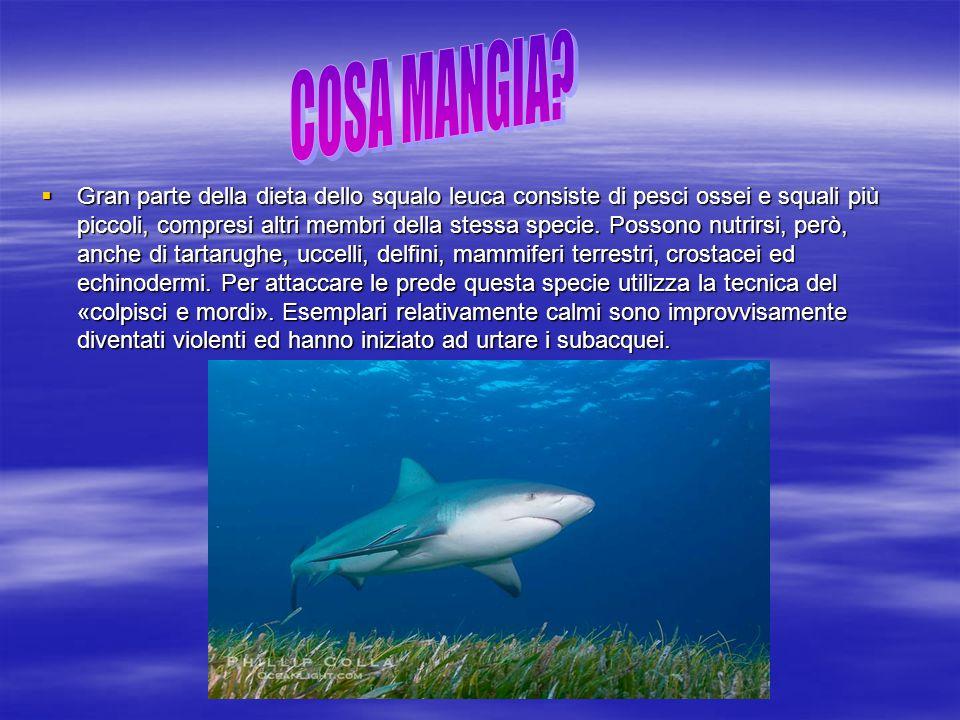  Gran parte della dieta dello squalo leuca consiste di pesci ossei e squali più piccoli, compresi altri membri della stessa specie. Possono nutrirsi,