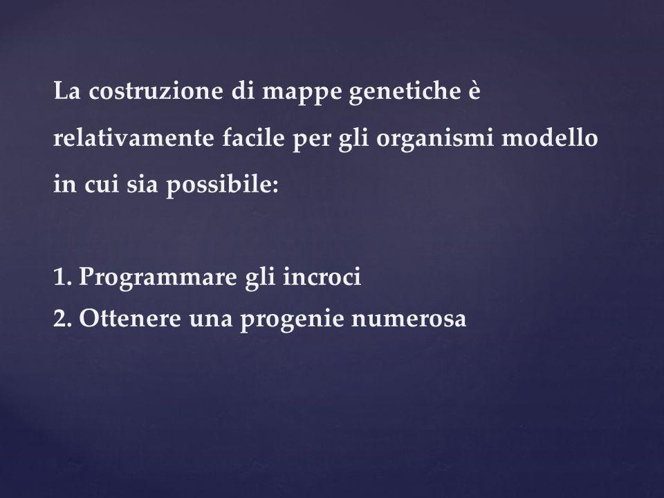 La costruzione di mappe genetiche è relativamente facile per gli organismi modello in cui sia possibile: 1. Programmare gli incroci 2. Ottenere una pr