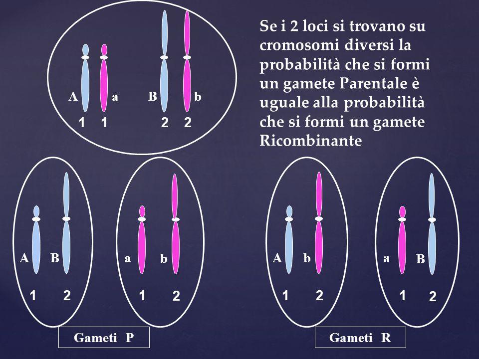 11 2 2 A ab B 1 A 1 a 2 B 2 b 12 b 1 a 2 B A Se i 2 loci si trovano su cromosomi diversi la probabilità che si formi un gamete Parentale è uguale alla