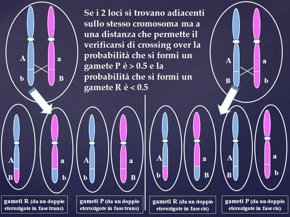 A b a B A B a b A b a B A B a b A b a B A B a b Se i 2 loci si trovano adiacenti sullo stesso cromosoma ma a una distanza che permette il verificarsi
