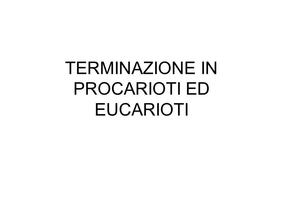TERMINAZIONE IN PROCARIOTI ED EUCARIOTI