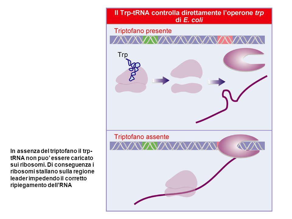 In assenza del triptofano il trp- tRNA non puo' essere caricato sui ribosomi. Di conseguenza i ribosomi stallano sulla regione leader impedendo il cor