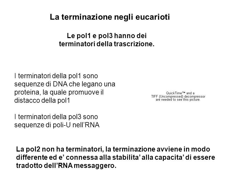 Le pol1 e pol3 hanno dei terminatori della trascrizione. La terminazione negli eucarioti I terminatori della pol1 sono sequenze di DNA che legano una