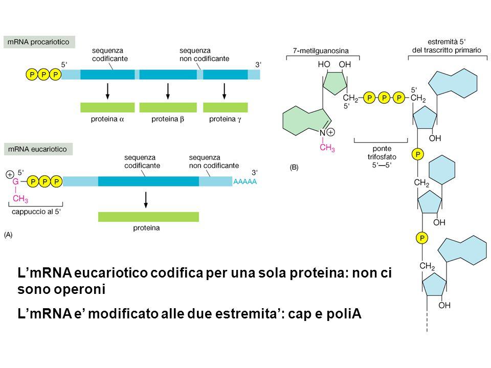 L'mRNA eucariotico codifica per una sola proteina: non ci sono operoni L'mRNA e' modificato alle due estremita': cap e poliA