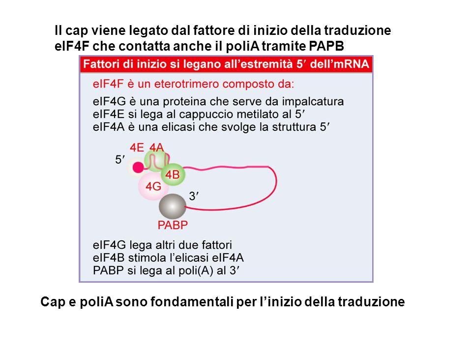 Il cap viene legato dal fattore di inizio della traduzione eIF4F che contatta anche il poliA tramite PAPB Cap e poliA sono fondamentali per l'inizio d