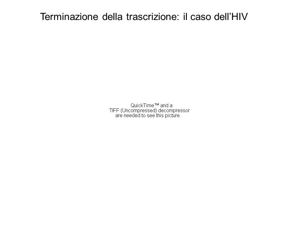 Terminazione della trascrizione: il caso dell'HIV