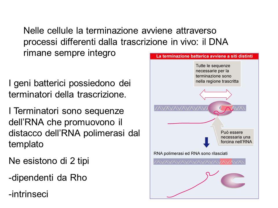 I terminatori Rho-dipendenti richiedono il legame della RNA elicasi Rho alla catena nascente di RNA Rho si lega all'RNA su uno specifico sito di riconoscimento, ma agisce al 3' di questo