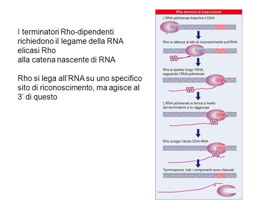 I terminatori Rho-dipendenti richiedono il legame della RNA elicasi Rho alla catena nascente di RNA Rho si lega all'RNA su uno specifico sito di ricon