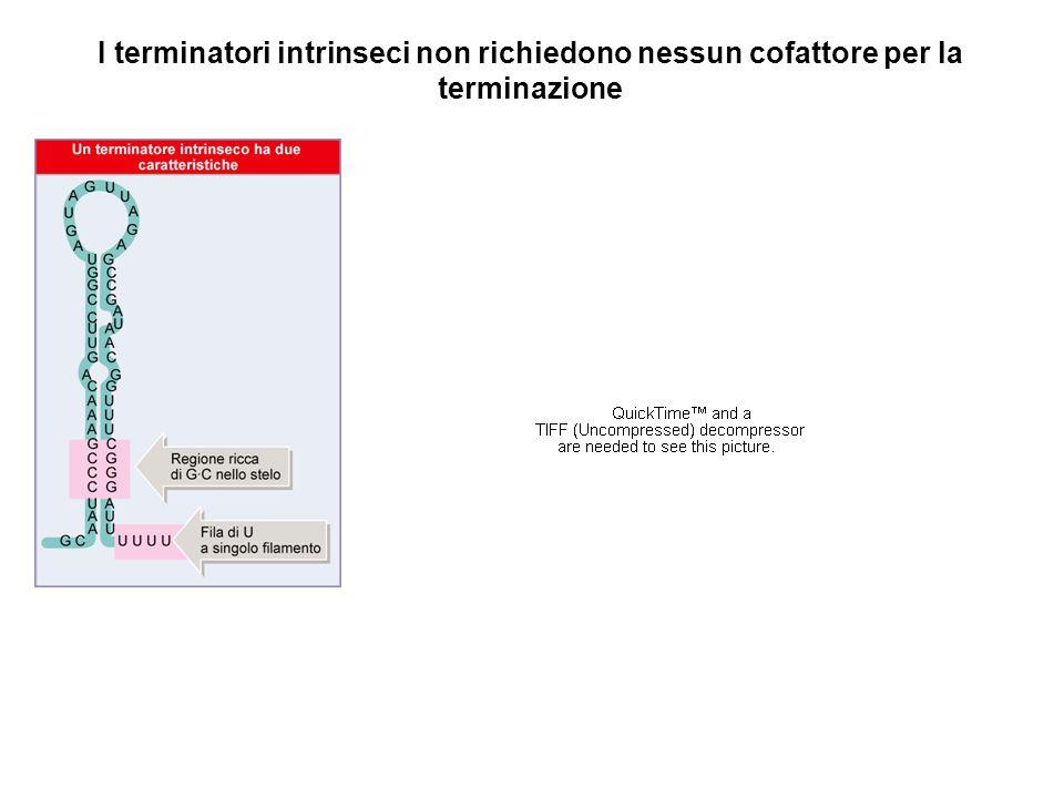 La terminazione della trascrizione batterica puo' essere modulata: Antiterminatori = Specifiche proteine che consentono alla RNA polimerasi di continuare la trascrizione attraverso il sito di terminazione Attenuatori = Sequenze dell'RNA che regolano la terminazione della trascrizione di un operone successivamente al primo gene trascritto