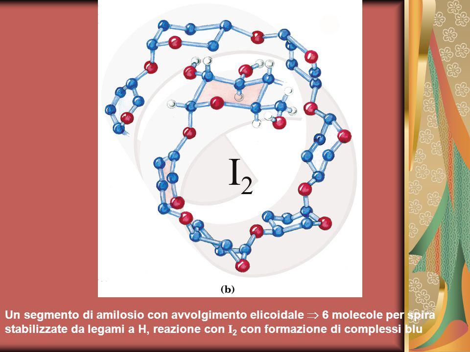 Un segmento di amilosio con avvolgimento elicoidale  6 molecole per spira stabilizzate da legami a H, reazione con I 2 con formazione di complessi blu I2I2