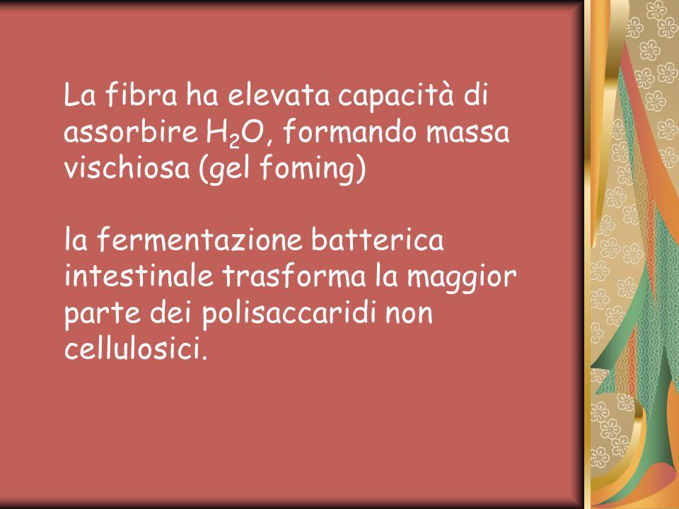 La fibra ha elevata capacità di assorbire H 2 O, formando massa vischiosa (gel foming) la fermentazione batterica intestinale trasforma la maggior parte dei polisaccaridi non cellulosici.