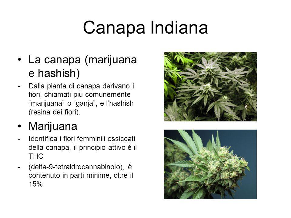 """Canapa Indiana La canapa (marijuana e hashish) -Dalla pianta di canapa derivano i fiori, chiamati più comunemente """"marijuana"""" o """"ganja"""", e l'hashish ("""