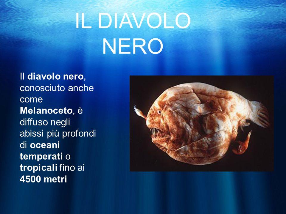IL DIAVOLO NERO Il diavolo nero, conosciuto anche come Melanoceto, è diffuso negli abissi più profondi di oceani temperati o tropicali fino ai 4500 metri.