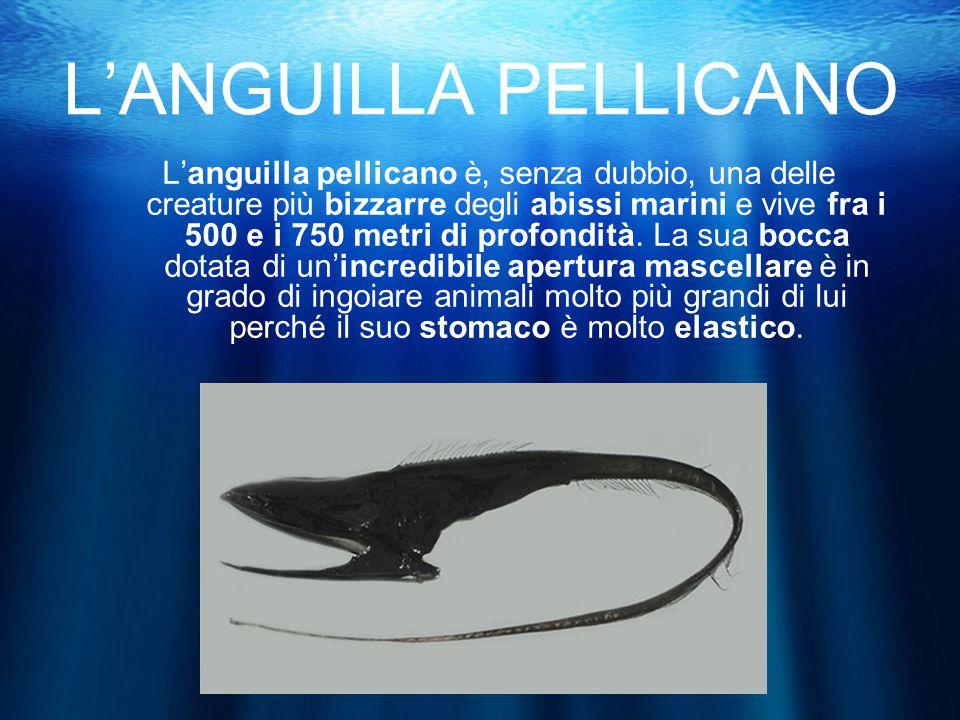 L'ANGUILLA PELLICANO L'anguilla pellicano è, senza dubbio, una delle creature più bizzarre degli abissi marini e vive fra i 500 e i 750 metri di profondità.