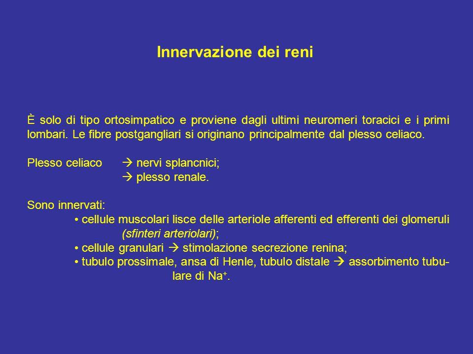 Innervazione dei reni È solo di tipo ortosimpatico e proviene dagli ultimi neuromeri toracici e i primi lombari.