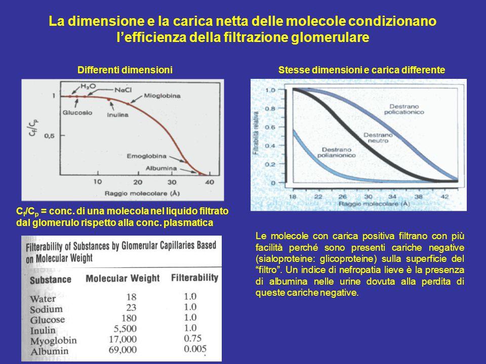 La dimensione e la carica netta delle molecole condizionano l'efficienza della filtrazione glomerulare C f /C p = conc.