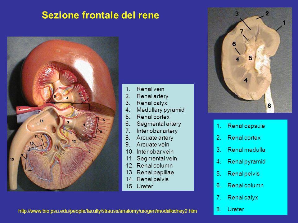 http://www.bio.psu.edu/people/faculty/strauss/anatomy/urogen/modelkidney2.htm Sezione frontale del rene 1.Renal vein 2.Renal artery 3.Renal calyx 4.Medullary pyramid 5.Renal cortex 6.Segmental artery 7.Interlobar artery 8.Arcuate artery 9.Arcuate vein 10.Interlobar vein 11.Segmental vein 12.Renal column 13.Renal papillae 14.Renal pelvis 15.Ureter 1.Renal capsule 2.Renal cortex 3.Renal medulla 4.Renal pyramid 5.Renal pelvis 6.Renal column 7.Renal calyx 8.Ureter